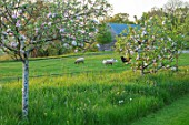 MORTON HALL, WORCESTERSHIRE: THE MEADOW AT SUNSET. FIELD WITH SHEEP, ORCHARD WITH APPLE TREES - MALUS SCRUMPTIOUS, MALUS EGREMONT RUSSET, CYDONIA CHAMPION