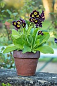 THE MANOR HOUSE, STEVINGTON, BEDFORDSHIRE: TERRACOTTA CONTAINER PLANTED WITH AURICULA. FLOWERS, SPRING