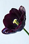 CLOSE UP PLANT PORTRAIT OF BLACK TULIP - TULIPA PAUL SCHERER. BLACK, FLOWERS, FLOWER, SPRING, SINGLE LATE, PURPLE, DARK