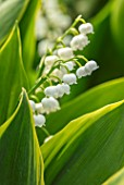 AVONDALE NURSERIES, COVENTRY: CLOSE UP PLANT PORTRAIT OF LILY-OF-THE-VALLEY - CONVALLARIA MAJALIS HARDWICK HALL, PETALS, FLOWERS, BELLS, BULBS, LILY, OF, THE, VALLEY, SPRING, WHITE
