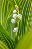 AVONDALE NURSERIES, COVENTRY: CLOSE UP PLANT PORTRAIT OF LILY-OF-THE-VALLEY - CONVALLARIA MAJALIS VIC POWLOWSKIS GOLD, PETALS, FLOWERS, BULBS, LILY, OF, THE, VALLEY, SPRING, WHITE