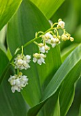 AVONDALE NURSERIES, COVENTRY: CLOSE UP PLANT PORTRAIT OF LILY-OF-THE-VALLEY - CONVALLARIA MAJALIS PROLIFICANS, PETALS, FLOWERS, BULBS, LILY, OF, THE, VALLEY, SPRING, WHITE, BELLS