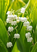 AVONDALE NURSERIES, COVENTRY: CLOSE UP PLANT PORTRAIT OF LILY-OF-THE-VALLEY - CONVALLARIA MAJALIS GREEN TAPESTRY, PETALS, FLOWERS, BULBS, LILY, OF, THE, VALLEY, SPRING, WHITE