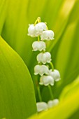 AVONDALE NURSERIES, COVENTRY: CLOSE UP PLANT PORTRAIT OF LILY-OF-THE-VALLEY - CONVALLARIA MAJALIS GOLDEN JUBILEE, PETALS, FLOWERS, BULBS, LILY, OF, THE, VALLEY, SPRING, WHITE