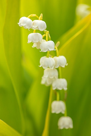 AVONDALE_NURSERIES_COVENTRY_CLOSE_UP_PLANT_PORTRAIT_OF_LILYOFTHEVALLEY__CONVALLARIA_MAJALIS_GOLDEN_J