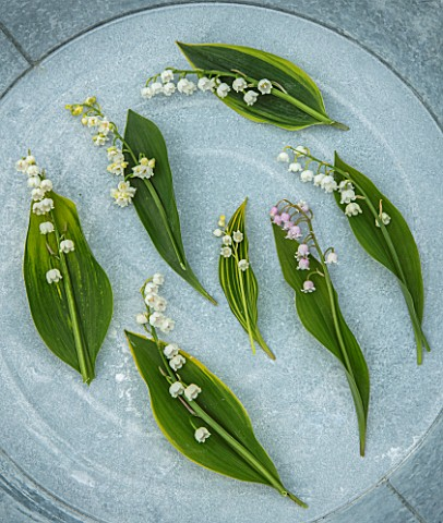 AVONDALE_NURSERIES_COVENTRY_STILL_LIFE_OF_LILYOFTHEVALLEY__CONVALLARIA_MAJALIS_PROLIFICANS_HARDWICK_