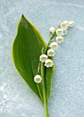 AVONDALE NURSERIES, COVENTRY: CLOSE UP PLANT PORTRAIT OF LILY-OF-THE-VALLEY - CONVALLARIA MAJALIS HALDEN GRANGE, PETALS, FLOWERS, BULBS, LILY, OF, THE, VALLEY, SPRING, WHITE