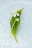AVONDALE NURSERIES, COVENTRY: CLOSE UP PLANT PORTRAIT OF LILY-OF-THE-VALLEY - CONVALLARIA MAJALIS VIC PAWLOWSKIS GOLD, PETALS, FLOWERS, BULBS, LILY, OF, THE, VALLEY, SPRING, WHITE
