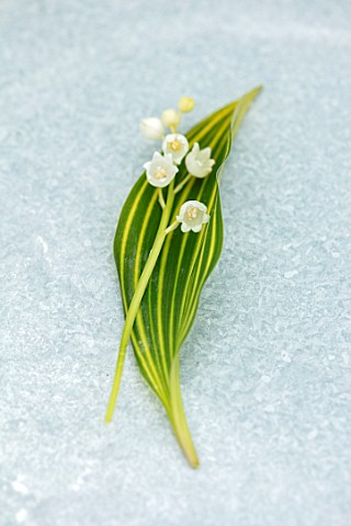 AVONDALE_NURSERIES_COVENTRY_CLOSE_UP_PLANT_PORTRAIT_OF_LILYOFTHEVALLEY__CONVALLARIA_MAJALIS_VIC_PAWL