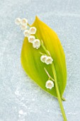 AVONDALE NURSERIES, COVENTRY: CLOSE UP PLANT PORTRAIT OF LILY-OF-THE-VALLEY - CONVALLARIA MAJALIS GOLDEN SLIPPERS, PETALS, FLOWERS, BULBS, LILY, OF, THE, VALLEY, SPRING, WHITE