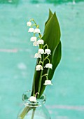 AVONDALE NURSERIES, COVENTRY: LILY-OF-THE-VALLEY - CONVALLARIA MAJALIS, IN GLASS BOTTLE, PETALS, FLOWERS, BULBS, LILY, OF, THE, VALLEY, SPRING, WHITE