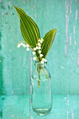 AVONDALE NURSERIES, COVENTRY: LILY-OF-THE-VALLEY - CONVALLARIA MAJALIS VARIEGATA IN GLASS BOTTLE, PETALS, FLOWERS, BULBS, LILY, OF, THE, VALLEY, SPRING, WHITE, STILL LIFE