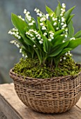 AVONDALE NURSERIES, COVENTRY: LILY-OF-THE-VALLEY - CONVALLARIA MAJALIS, IN BASKET WITH MOSS, ON TABLE. PETALS, FLOWERS, BULBS, LILY, OF, THE, VALLEY, SPRING, WHITE, STILL LIFE