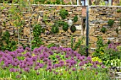 THE MOONGATE GARDEN, SUSSEX: BORDERS IN SPRING OF ALLIUM FIRMAMENT WITH PURBECK STONE WALL. BOUNDARY, BOUNDARIES, BULBS, PURPLE, FLOWERING. SPRING