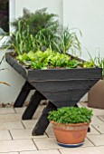 THE MOONGATE GARDEN, SUSSEX: PATIO, TERRACE, RAISED WOODEN PLANTER, CONTAINER, PAINTED BALCK WITH HERBS, LETTUCE, ONIONS, RAISED BED, EDIBLES, VEGETABLES, KITCHEN GARDEN