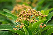 THE MOONGATE GARDEN, SUSSEX: PLANT PORTRAIT OF ORANGE, BROWN FLOWERS OF EUPHORBIA MILLIFERA, HONEY SPURGE, CANARY SPURGE, PERENNIALS, AGM