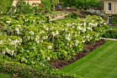 CHILWORTH MANOR, SUSSEX: THE WALLED GARDEN. LAWN, WHITE WISTERIA AVENUE