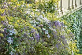CHILWORTH MANOR, SUSSEX: CLEMATIS AND PURPLE WISTERIA GROWING ON THE MANOR HOUSE