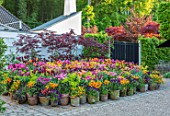 CLAUS DALBY GARDEN, DENMARK: TERRACOTTA CONTAINERS - ACER BLOODGOOD, TULIPA QUEEN OF NIGHT, BALLERINA, CONTINENTAL, ROYAL ACRES, CAIRO, APRICONA, VIOLA CORNUTA, DICENTRA GOLD HEART