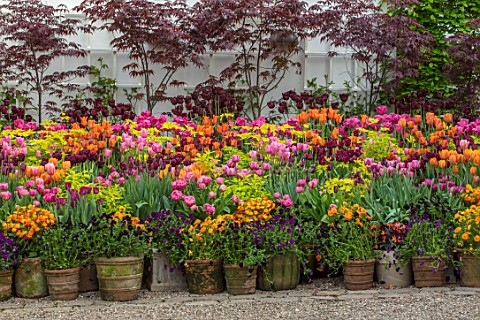 CLAUS_DALBY_GARDEN_DENMARK_TERRACOTTA_CONTAINERS__ACER_BLOODGOOD_TULIPA_QUEEN_OF_NIGHT_BALLERINA_CON