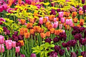 CLAUS DALBY GARDEN, DENMARK: PLANT COMBINATION, ASSOCIATION - PINK, ORANGE AND PLUM TULIPS WITH FOLIAGE OF DICENTRA SPECTABILIS GOLDHEART