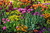 CLAUS DALBY GARDEN, DENMARK: PINK, PLUM AND ORANGE TULIPS WITH FOLIAGE OF DICENTRA SPECTABILIS GOLDHEART. PLANT ASSOCIATION, COMBINATION