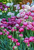 CLAUS DALBY GARDEN, DENMARK: PINK TULIPS - TULIP MATCHPOINT, PINK CLOUD. BULBS, SPRING, FLOWERING, FLOWERS