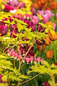 CLAUS DALBY GARDEN, DENMARK: PINK TULIPS WITH DICENTRA SPECTABILIS GOLDHEART. BULBS, SPRING, FLOWERING, FLOWERS