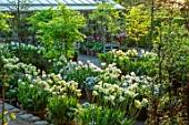 CLAUS DALBY GARDEN, DENMARK: WHITE GARDEN IN SPRING - TERRACOTTA CONTAINERS PLANTED WITH TULIPS - TULIP SPRING GREEN, TULIPA MOUNT TACOMA, BULBS