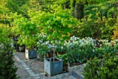 CLAUS DALBY GARDEN, DENMARK: WHITE GARDEN IN SPRING - TERRACOTTA CONTAINERS PLANTED WITH TULIPS - TULIP SPRING GREEN, MOUNT TACOMA, BULBS, ACERS IN CONTAINERS