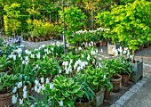 CLAUS DALBY GARDEN, DENMARK: WHITE GARDEN IN SPRING - TERRACOTTA CONTAINERS PLANTED WITH TULIPS - TULIP MOUNT TACOMA, BULBS, ACERS IN CONTAINERS