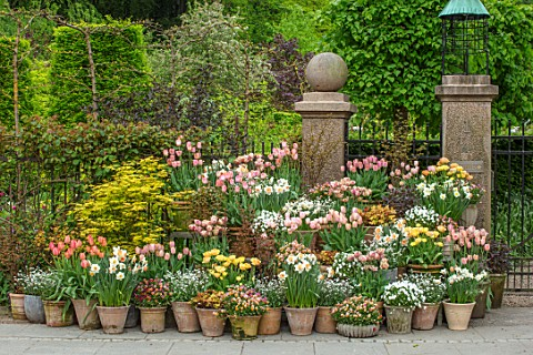 CLAUS_DALBY_GARDEN_DENMARK_TERRACOTTA_CONTAINERS_TULIPS_DAFFODILS_TULIPA_APRICOT_BEAUTY_ORANGE_ROSAL
