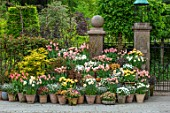 CLAUS DALBY GARDEN, DENMARK: TERRACOTTA CONTAINERS, TULIPS, DAFFODILS. TULIPA APRICOT BEAUTY, ORANGE ROSALIE, LA BELLE EPOQUE, STUNNING APRICOT, SALMON PRINCE, ACER AUREUM