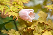 CLAUS DALBY GARDEN, DENMARK: ACER PALMATUM AUREUM AND TULIP APRICOT BEAUTY AND HEUCHERA