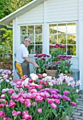 CLAUS DALBY GARDEN, DENMARK: CLAUS DALBY ARRANGING TERRACOTTA CONTAINERS OF TULIPS - TULIPA DREAM TOUCH - BESIDE THE CONSERVATORY, GREENHOUSE