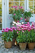 CLAUS DALBY GARDEN, DENMARK: DISPLAY OF PINK TULIPS BESIDE THE CONSERVATORY , GREENHOUSE - TULIPA SILVER PRROT, DREAM TOUCH, PINK CLOUD, DOUBLE SUGAR, SHIRLEY, AVEYRON