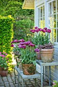 CLAUS DALBY GARDEN, DENMARK: ARRANGEMENT OF TULIPS IN TERRACOTTA CONTAINERS - TULIPA DREAM TOUCH AND ATHYRIUM NIPONICUM PICTUM - JAPANESE PAINTED FERN, GREENHOUSE, CONSERVATORY