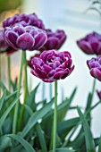 CLAUS DALBY GARDEN, DENMARK: PLANT PORTRAIT OF TULIP - TULIPA DREAM TOUCH, FLOWERS, FLOWERING, PINK, BULBS, SPRING