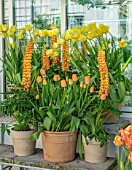 CLAUS DALBY GARDEN, DENMARK: DISPLAY OF TERRACOTTA CONTAINERS BY GREENHOUSE. TULIPS - TULIPA WORLD FRIENDSHIP, DORDOGNE, ORANGE LUPIN, BULBS, SPRING