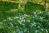 CLAUS DALBY GARDEN, DENMARK: SHADY WOODLAND PLANTING OF NARCISSUS AND TULIPA SPRING GREEN, HEDGES, HEDGING, SPRING