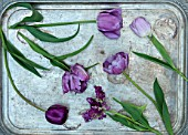 CLAUS DALBY GARDEN, DENMARK: PURPLE, PLUM TULIPS ON SILVER ANTIQUE TRAY. STILL LIFE, ARRANGED, ARRANGEMENT. TULIP MYSTERIOUS PARROT, QUEEN OF NIGHT, BLUE DIAMOND
