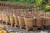 CLAUS DALBY GARDEN, DENMARK: TERRACOTTA CONTAINERS PLANTED WITH DAHLIAS IN NURSERY AREA