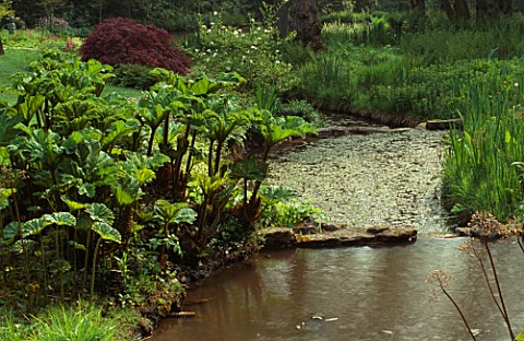 GUNNERA_TINCTORIA_AND_ACER_GROWING_BESIDE_STREAM_LITTLE_COOPERS__HAMPSHIRE