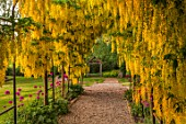 MITTON MANOR, STAFFORDSHIRE: LABURNUM ARCH UNDERPLANTED WITH ALLIUM PURPLE SENSATION. PATHS, PATHWAYS, STRUCTURES, PERGOLAS, CLIMBERS, CLIMBING, BULBS, YELLOW FLOWERS, FLOWERING