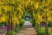 MITTON MANOR, STAFFORDSHIRE: LABURNUM ARCH UNDERPLANTED WITH ALLIUM PURPLE SENSATION. PATHS, PATHWAYS, STRUCTURES, PERGOLAS, CLIMBERS, CLIMBING, BULBS, WHITE SEAT, BENCH