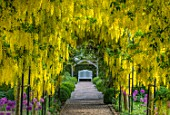 MITTON MANOR, STAFFORDSHIRE: LABURNUM ARCH UNDERPLANTED WITH ALLIUM PURPLE SENSATION. PATHS, PATHWAYS, STRUCTURES, PERGOLAS, CLIMBERS, CLIMBING, BULBS, WHITE, BENCH, SEATS