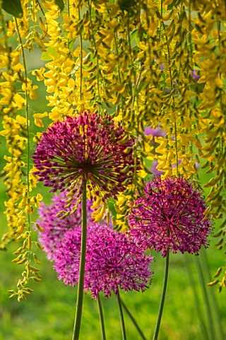 MITTON_MANOR_STAFFORDSHIRE_LABURNUM_ARCH_UNDERPLANTED_WITH_ALLIUM_PURPLE_SENSATION_CLIMBERS_CLIMBING