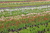 HOWARDS NURSERIES, NORFOLK: IRIS BEDS, FIELDS  WITH HOUSE IN BACKGROUND. CORMS, LINES, ROWS, RURAL SCENE, NURSERY, CROPS, COUNTRYSIDE, LANDSCAPE