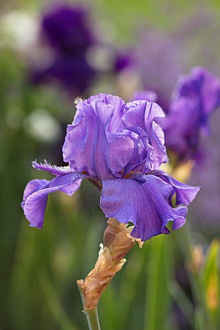 MORTON_HALL_WORCESTERSHIRE_PLANT_PORTRAIT_OF_BLUE_PURPLE_FLOWERS_OF_BEARDED_IRIS_ABOVE_THE_CLOUDS__F