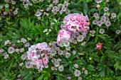 ASTHALL MANOR, OXFORDSHIRE: PLANT COMBINATION, ASSOCIATION OF PEONIES AND ASTRANTIA. PERENNIALS, PINK, FLOWERS, SUMMER, PAEONIA